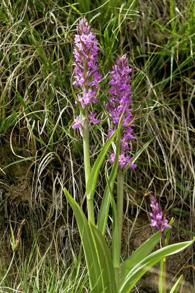 Pyrenees Photograph - Robust Marsh Orchid (dactylorhiza Elata) by Bob Gibbons