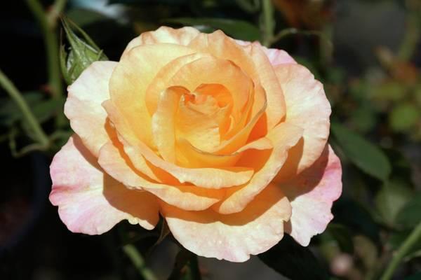Rose In Bloom Photograph - (rochemenier Village) Floribunda Rose by Brian Gadsby/science Photo Library