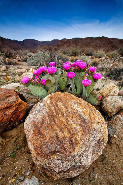 Deserts Photograph - Rock And Beavertail by Peter Tellone