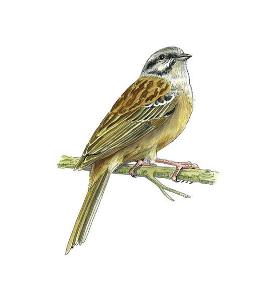 Wall Art - Photograph - Rock Bunting, Artwork by Science Photo Library