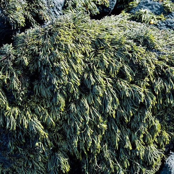Seaweed Photograph - Rock Covered In Channeled Wrack Seaweed by Dr Jeremy Burgess/science Photo Library