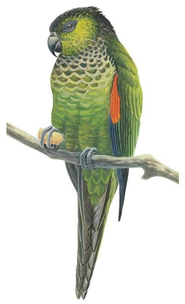 Tropical Drawing - Rock Parakeet by Anonymous