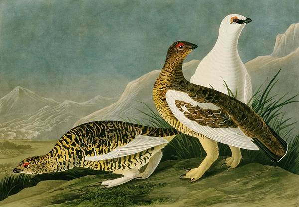 Moorland Photograph - Rock Ptarmigan by Natural History Museum, London/science Photo Library