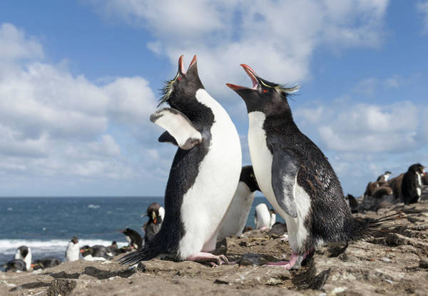 Wall Art - Photograph - Rockhopper Penguin Greeting And Bonding by Martin Zwick