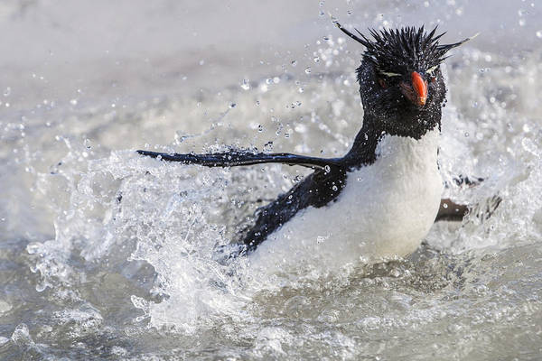 Photograph - Rockhopper Penguin Splashing Falklands by Heike Odermatt