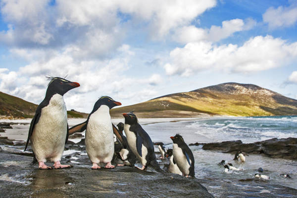 Photograph - Rockhopper Penguins Falklands by Heike Odermatt