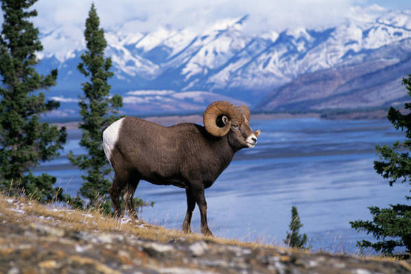 Wall Art - Photograph - Rocky Mountain Bighorn Ovis Canadensis by Animal Images