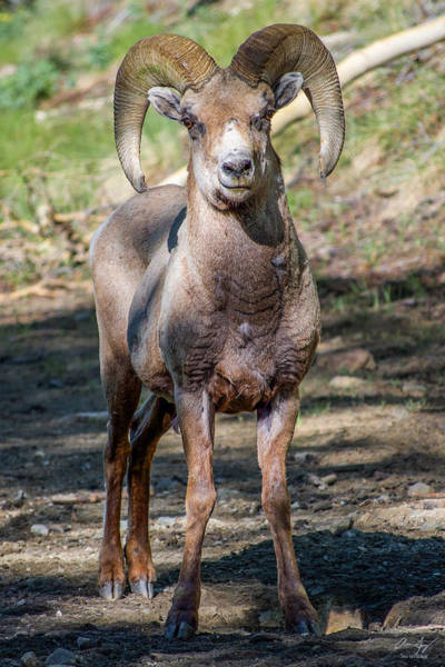 Photograph - Rocky Mountain Bighorn Sheep by Aaron Spong