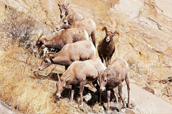 Ewe Photograph - Rocky Mountain Bighorn Sheep Herd by Piperanne Worcester