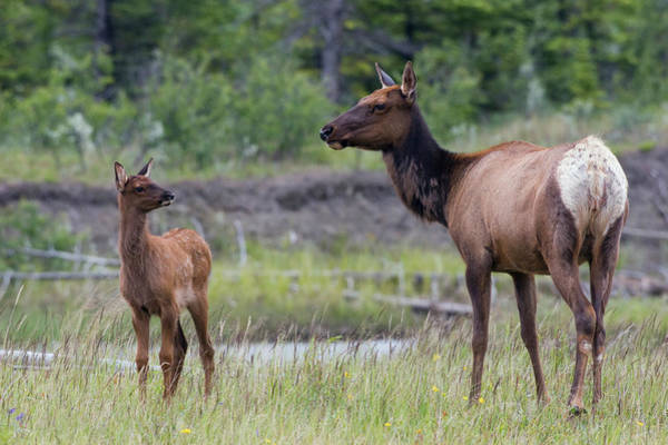 Baby Cow Photograph - Rocky Mountain Cow Elk With Calf by Ken Archer