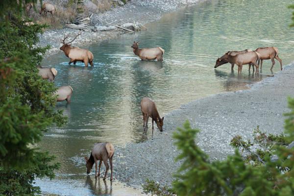 Elk Herd Photograph - Rocky Mountain Elk Herd Crossing by Ken Archer