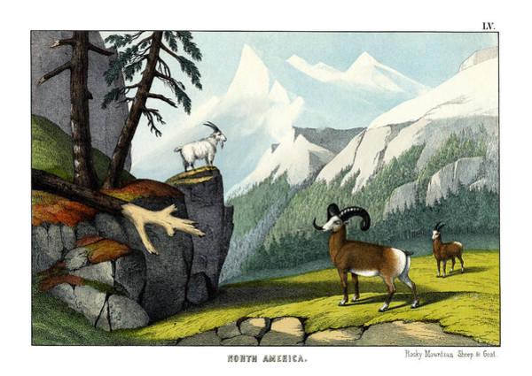 Montana Drawing - Rocky Mountain Sheep by Splendid Art Prints