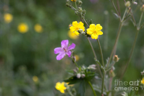 Photograph - Rocky Mountain Wildflowers by Cindy Singleton