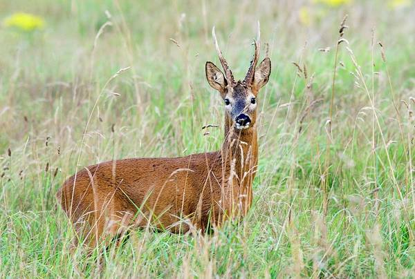Wall Art - Photograph - Roe Deer Buck (capreolus Capreolus) by John Devries/science Photo Library