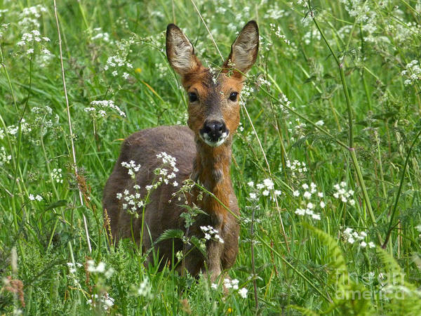 Photograph - Roe Doe In Early Summer by Phil Banks