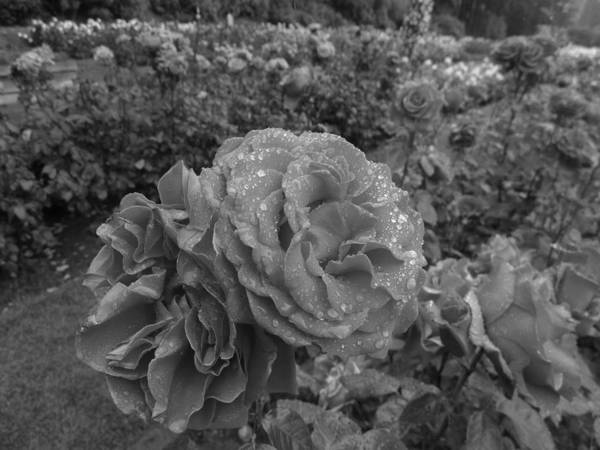 Photograph - Roses In The Rain by HW Kateley
