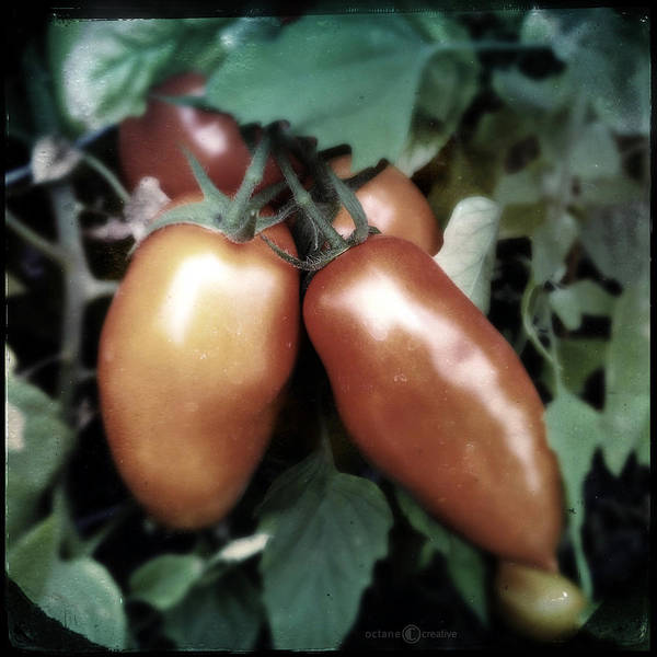 Photograph - Roma Tomatoes by Tim Nyberg
