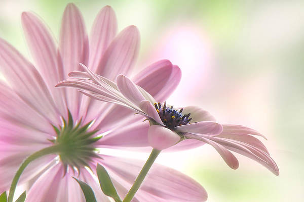 Asteraceae Wall Art - Photograph - Romeo And Juliet by John Poon