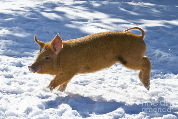 Photograph - Romping Piglet by Jean-Louis Klein and Marie-Luce Hubert