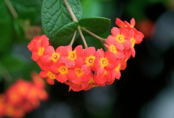 Fragrant Photograph - Rondeletia Odorata by Sam K Tran/science Photo Library