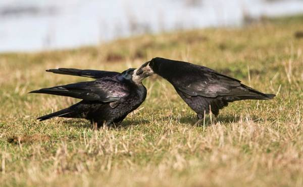 Rook Photograph - Rook Feeding Its Mate by John Devries/science Photo Library