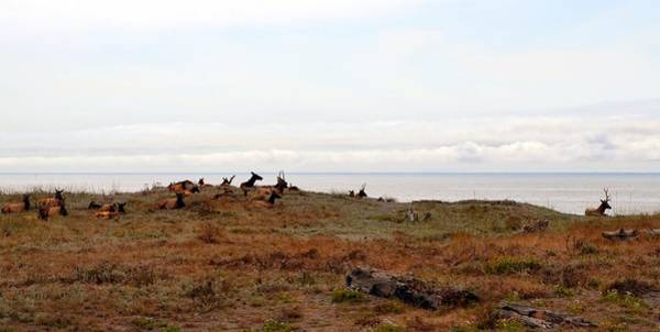 Photograph - Roosevelt Elk And The Ocean by Michelle Calkins