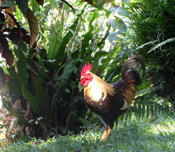 Photograph - Rooster 1 by Anita Burgermeister