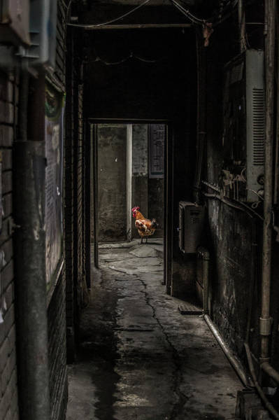 Alley Photograph - Rooster by Alen Djozgic