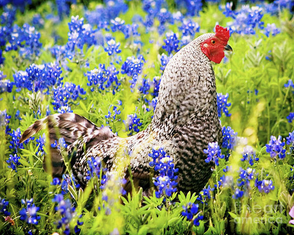 Rooster Photograph - Rooster And Bluebonnets by Katya Horner