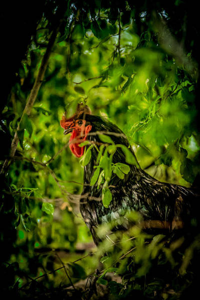 Cock Photograph - Rooster In A Tree by YoPedro