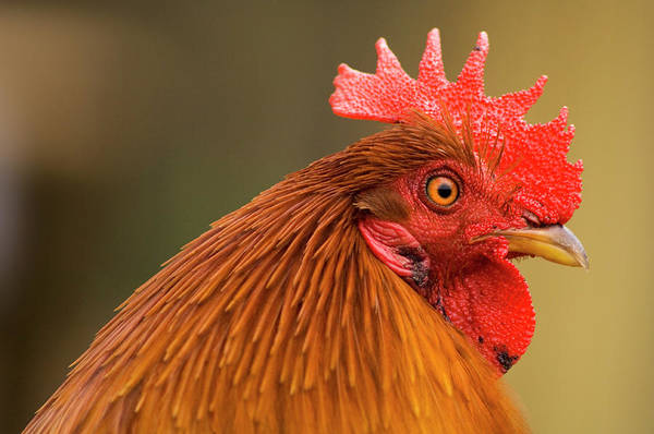 Rooster Photograph - Rooster by Maria Mosolova/science Photo Library