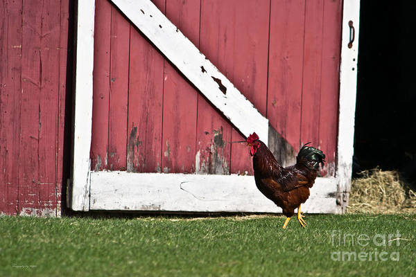 Photograph - Rooster Strut by Ms Judi