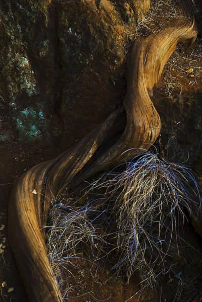 Photograph - Tree Root by Yulia Kazansky
