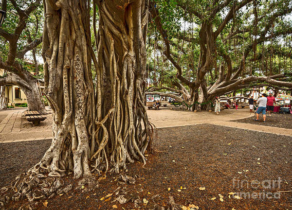 Indian Banyan Photograph - Roots - Banyan Tree Park In Maui by Jamie Pham