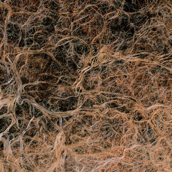 Elm Tree Photograph - Roots Of Elm Tree Grown In Pot by Dr Jeremy Burgess/science Photo Library