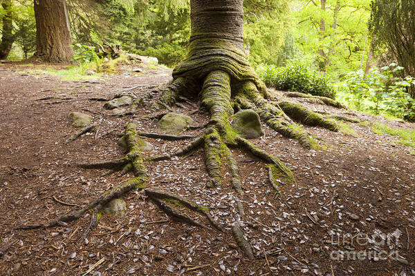 Aira Wall Art - Photograph - Roots Of Monkey Puzzle Tree by Colin and Linda McKie