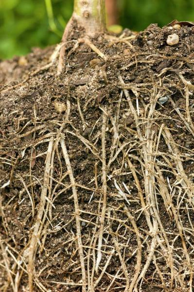 Helianthus Annuus Photograph - Roots Of Sunflower (helianthus Annuus) by Dr Jeremy Burgess/science Photo Library