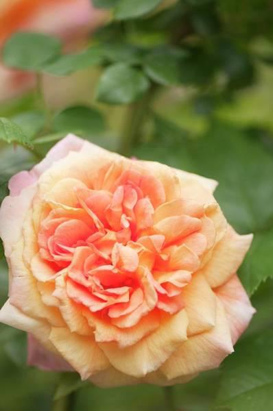 Rosaceae Wall Art - Photograph - Rosa 'alchymist' Flower by Maria Mosolova
