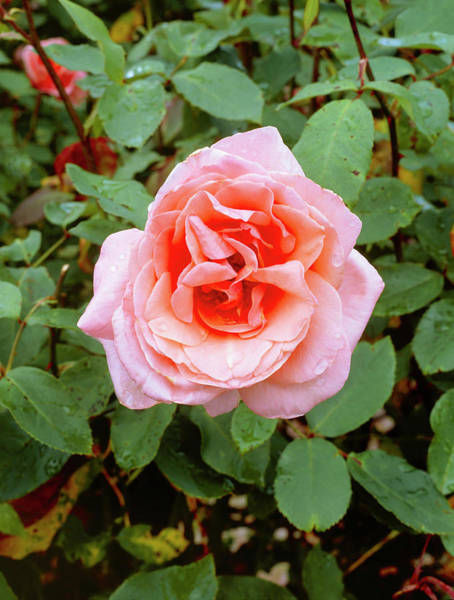 Horticulture Photograph - Rosa 'blessings' by Geoff Kidd/science Photo Library
