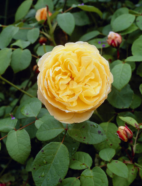 Elgin Photograph - Rosa Charlotte='auspoly' by Geoff Kidd/science Photo Library
