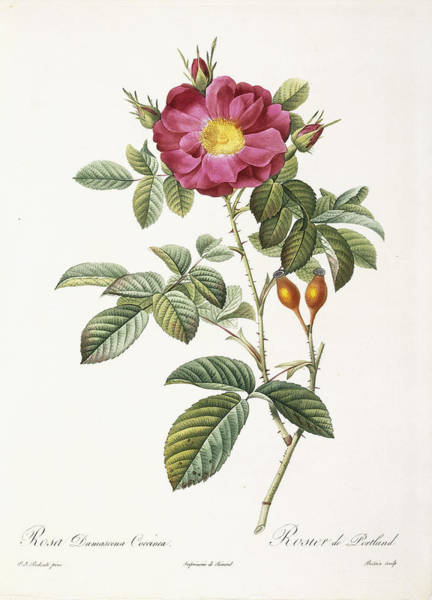 Single Rose Painting - Rosa Damascena Coccina by Pierre Joseph Redoute