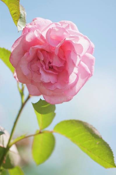 Hybrid Rose Photograph - Rosa 'eliza' Flower by Maria Mosolova