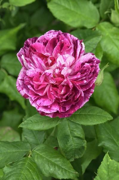 Hybrid Rose Photograph - Rosa 'ferdinand Pichard' by Geoff Kidd