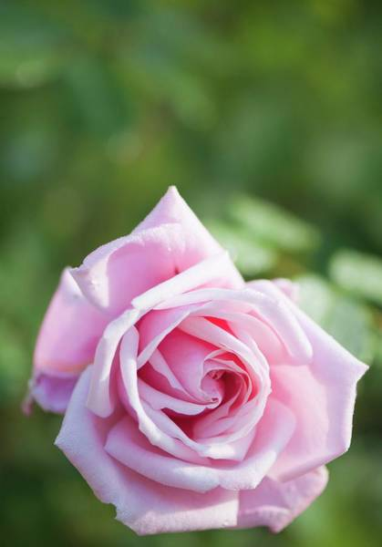 Hybrid Rose Photograph - Rosa 'frederic Mistral' Flower by Maria Mosolova