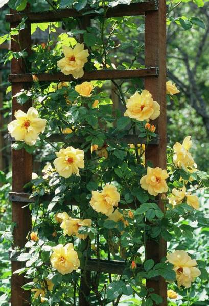 Hybrid Rose Photograph - Rosa Maigold by Robert Murray/science Photo Library