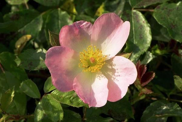 Rosy Photograph - Rosa 'rosy Cushion' by Adrian Thomas