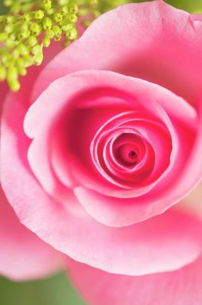 Rosaceae Wall Art - Photograph - Rosa Sp. Flower by Maria Mosolova