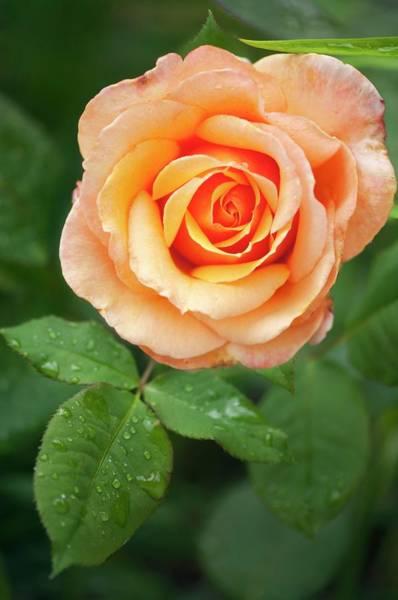 Hybrid Rose Photograph - Rosa 'tahitian Sunset' Flower by Maria Mosolova