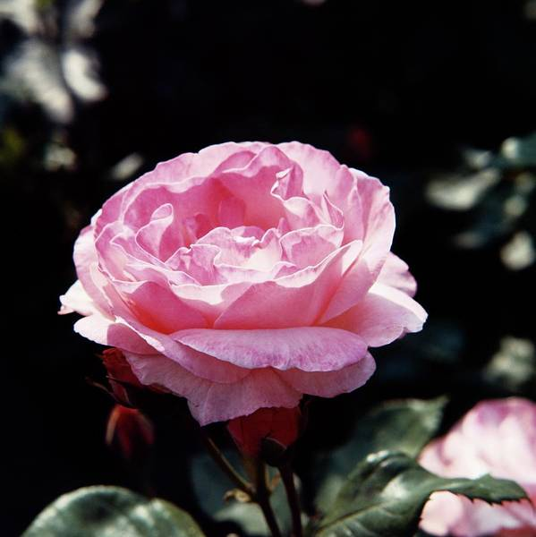 Wall Art - Photograph - Rosa The Queen Elizabeth by Science Photo Library