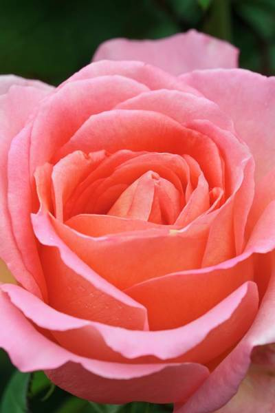 Hybrid Rose Photograph - Rosa 'the Whitgift Rose' by Geoff Kidd